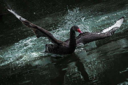 Wings of the Black Swan 스톡 콘텐츠