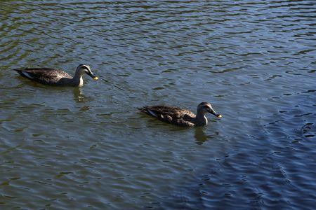wild duck photo