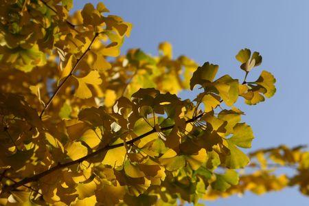 alternative living: yellow ginko leaves Stock Photo