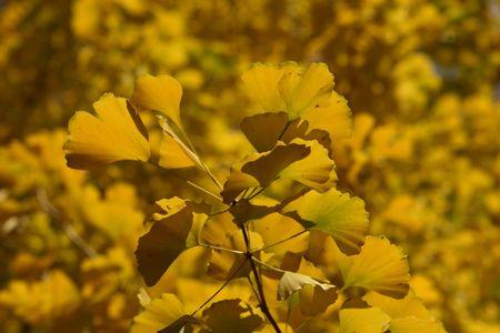 ginkgo tree: ginkgo tree leaves