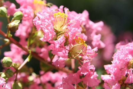pinkie: pink flower