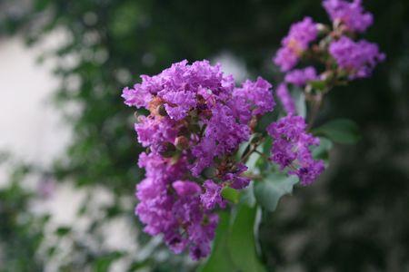 pinkie: purple flower Stock Photo