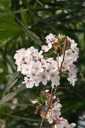 Japanese sakura blossom photo