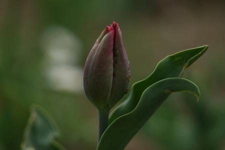 purple tulips bud photo