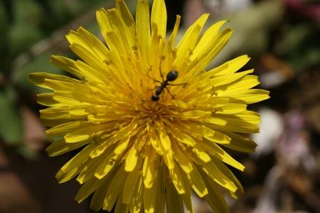 dandelion and ant photo