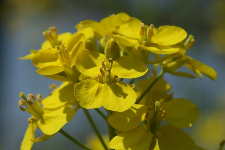 wild mustard flower Stock Photo
