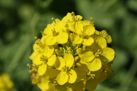 small group of objects: wild mustard flower Stock Photo