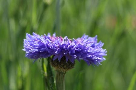 cornflower photo