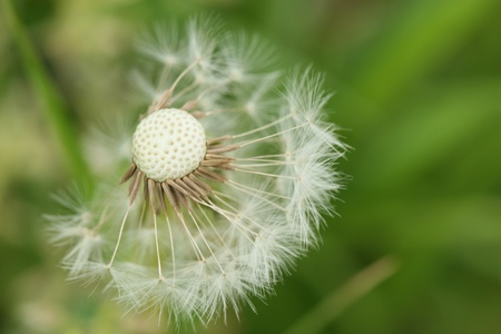 dandelion seed: dandelion seed macro