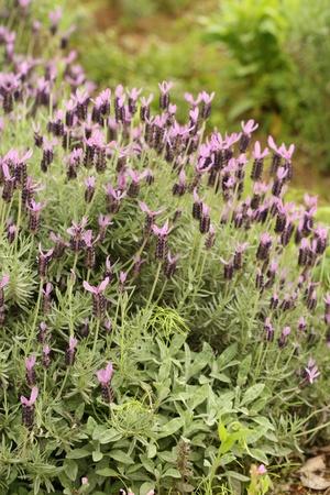 lavendar: lavendar