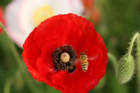 bee in poppy flower photo