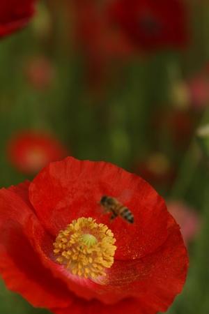bee on poppy photo