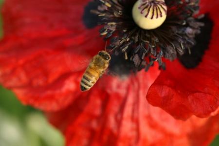 one bee on beautiful poppy flower photo