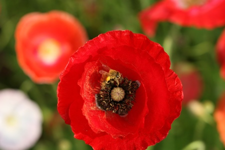 bee on poppy flower photo