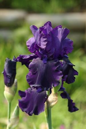 beardless: beautiful iris flowers