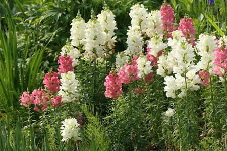 beautiful snapdragon flowers