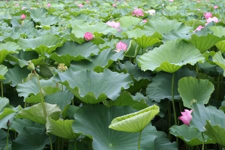 lotus garden photo
