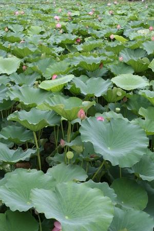 watergarden: lotus garden