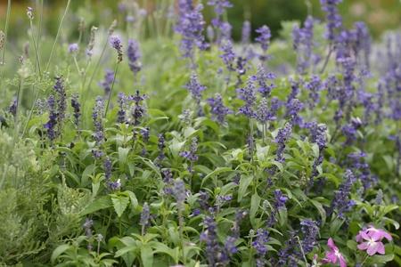 herbalism: beautiful purple lavender flowers