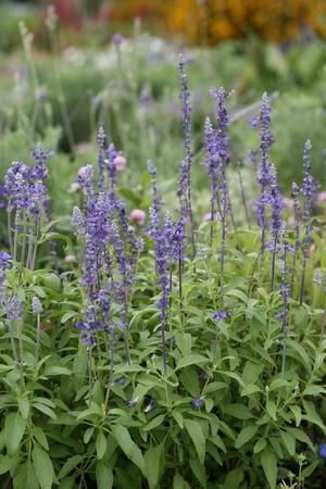 beautiful purple lavender flowers photo