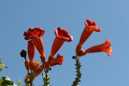 Campsis grandiflora photo