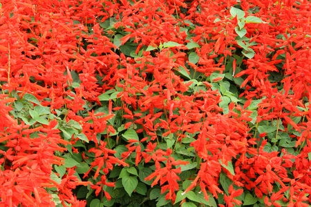 pollinators: scarlet sage Stock Photo