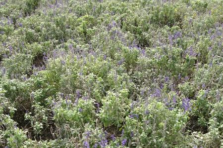 herbalism: lavender Stock Photo