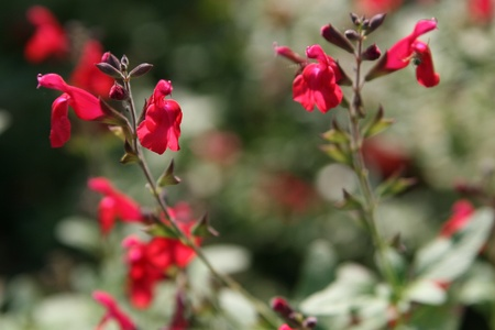drought    resistant plant: red salvia flower