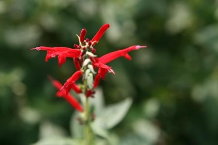 stingers: texas sage flower