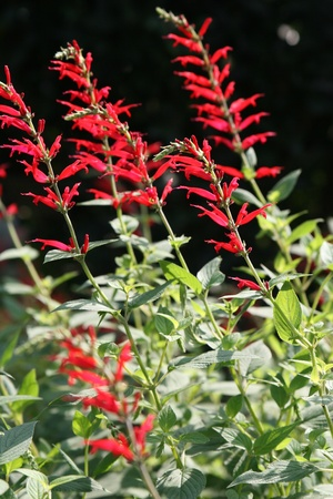 stingers: texas sage flower