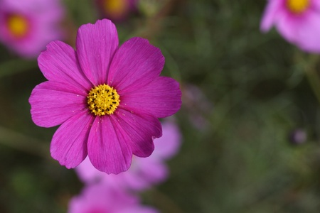 image of cosmos flower photo