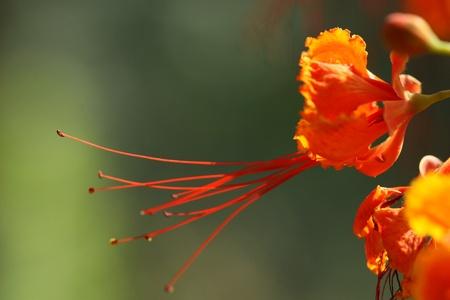 peacock flower photo
