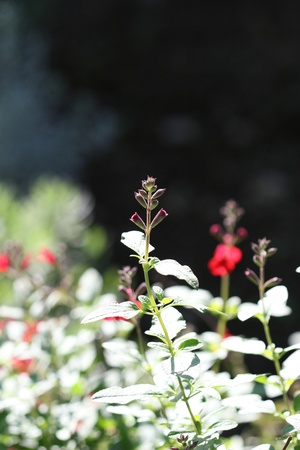 drought    resistant plant: pink or red salvia