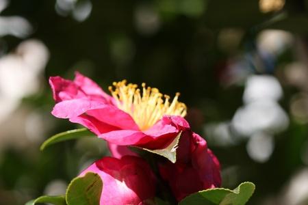 camellia: camelia