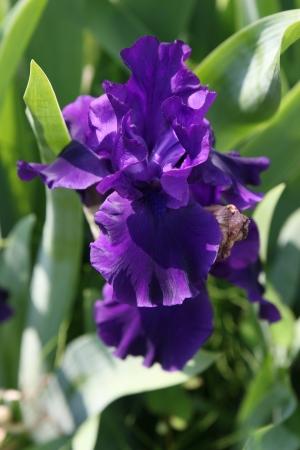 iris fiore: fiore di iris
