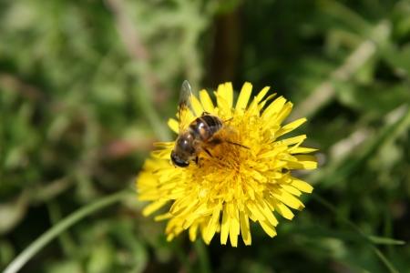 bee on dandelion yellow flower photo