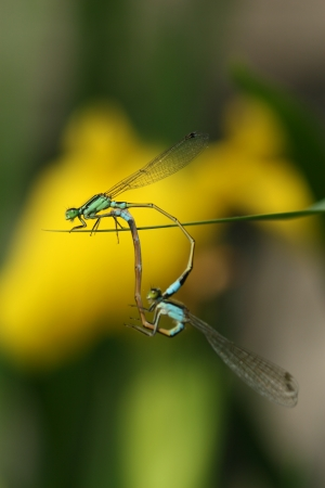 conjugation: dragonflies mating