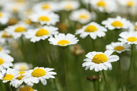 daisy flower Stock Photo - 14004895