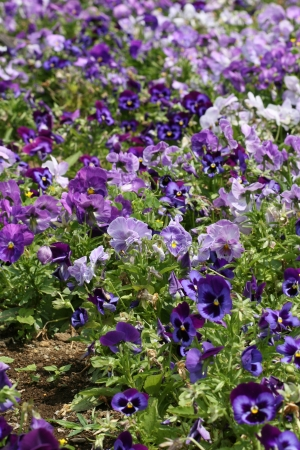 pansies photo