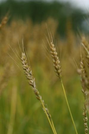 wheat in a field photo