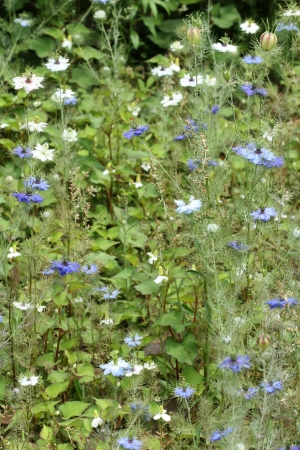 blue nigella damascena photo