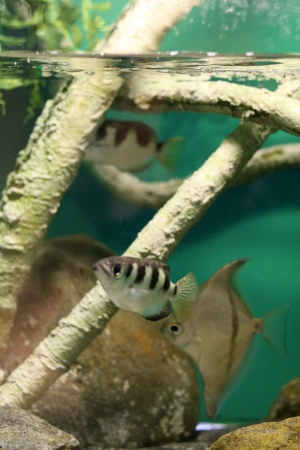 archerfish Stock Photo