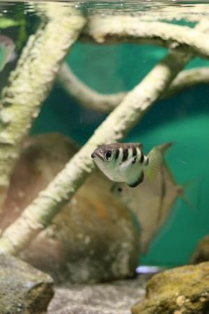 archerfish Stock Photo - 17475563