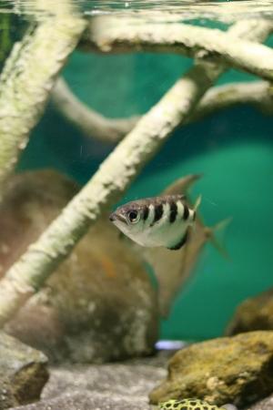 archerfish photo