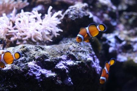 character traits: Clown anemonefish Stock Photo