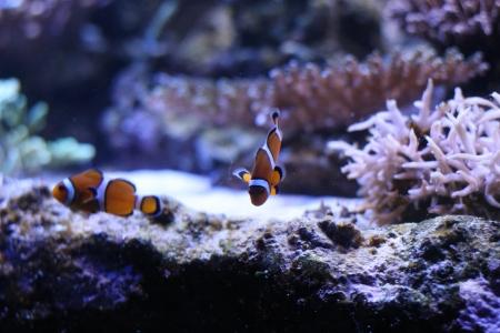 Clown anemonefish Stock Photo - 17469470