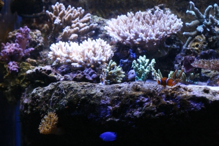 anemonefish: Clown anemonefish Stock Photo