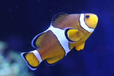 nemo: Clown anemonefish Stock Photo