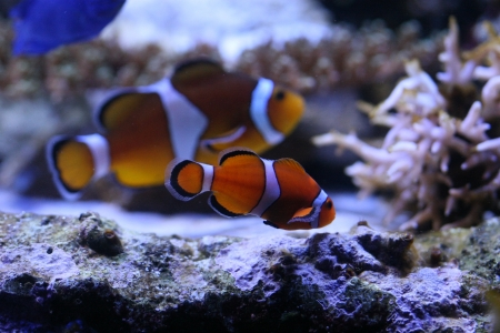 Clown anemonefish Stock Photo - 17632973