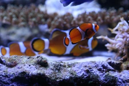 nemo: Clown anemonefish Stock Photo